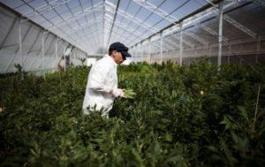 nuova varietà di cannabis terapeutica