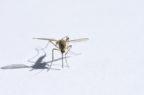 Dengue, un batterio nelle zanzare per bloccarne diffusione