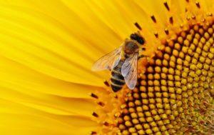 se le api muoiono