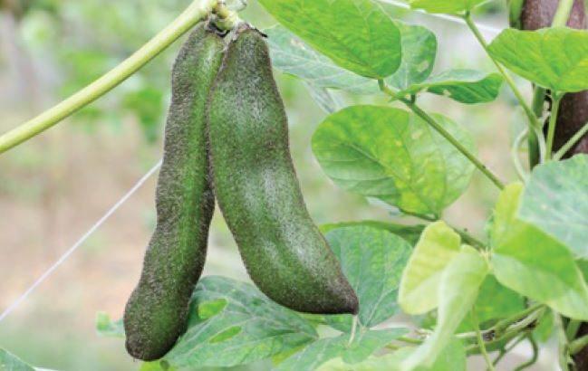 Malattia di Parkinson, ecco l'alternativa vegetale alla levodopa di sintesi