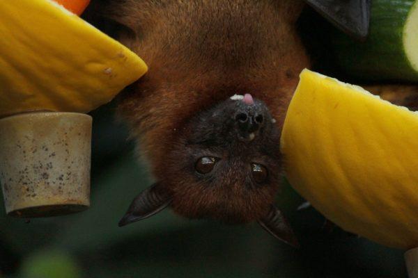 Uomini, pipistrelli e altri animali ai tempi del coronavirus
