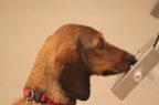 Se il fiuto dei cani si allea con l'uomo contro tumori e diabete