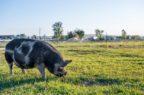 Peste suina africana: l'Efsa lancia una campagna per l'Europa sud-orientale