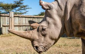 rinoceronte bianco estinzione