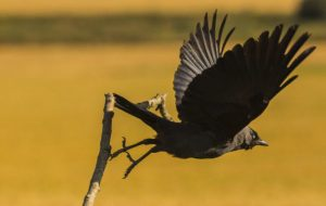 aviaria india