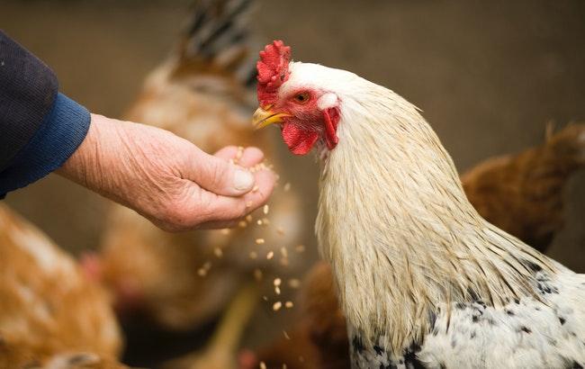 L'aviaria riemerge in Europa e minaccia la filiera del pollame