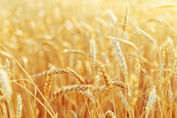 Agricoltura sostenibile, Bayer si accorda con la francese Ragt per sviluppare varietà di grano ibrido