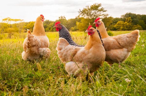 Salute animale, entra in vigore il nuovo regolamento Ue