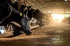 Salute animale, Msd Animal Health acquisirà gli asset della neozelandese Lica